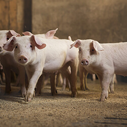 strøelse til grise