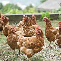 strøelse til kyllinger