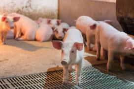 Rapsstrøelse til grise